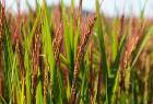 新品種「二丈赤米」でも知られる糸島市